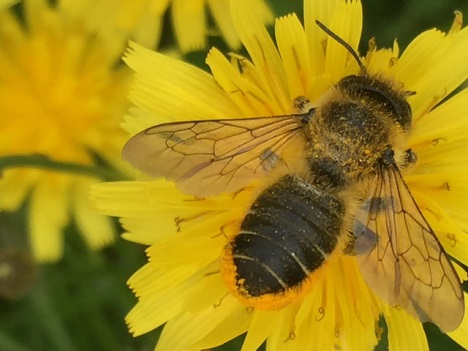 A leaf cutter bee on corn marigold, taken in Erdington Birmingham