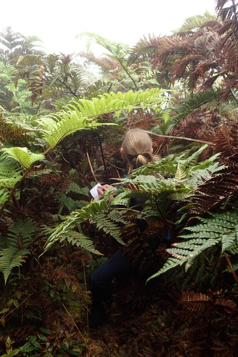 Amy surveying for Spikies amongst the fern fronds on St Helena