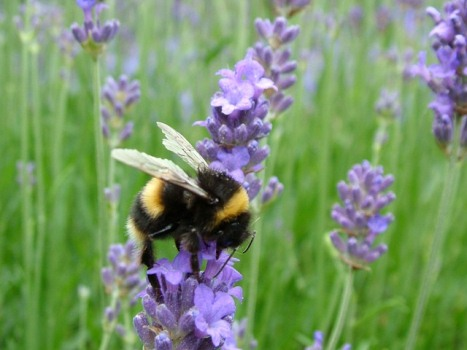 Bumblebee on lavender (C) Suzanne Rowcliffe