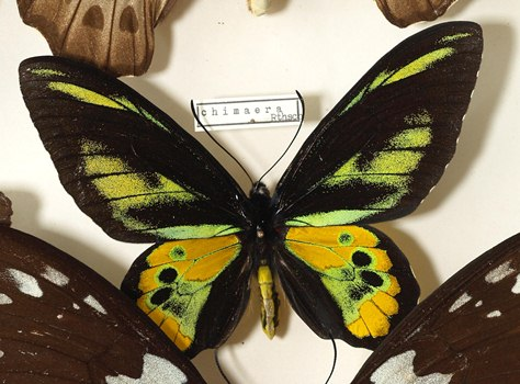 Pinned male Bird-wing butterfly (Ornithoptera chimaera) (c) Sarefo