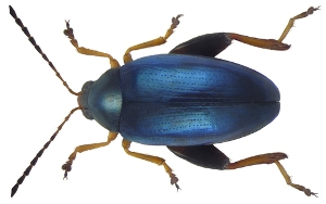 Cabbage stem flea beetle (Psylliodes chrysocephalus) (C) Udo Schmidt