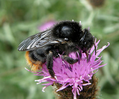 Cuckoo bumblebee (Bombus rupestris) (C) Steven Falk