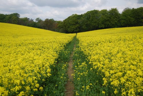 Oil seed rape (Brassica napus) (C) N Chadwick